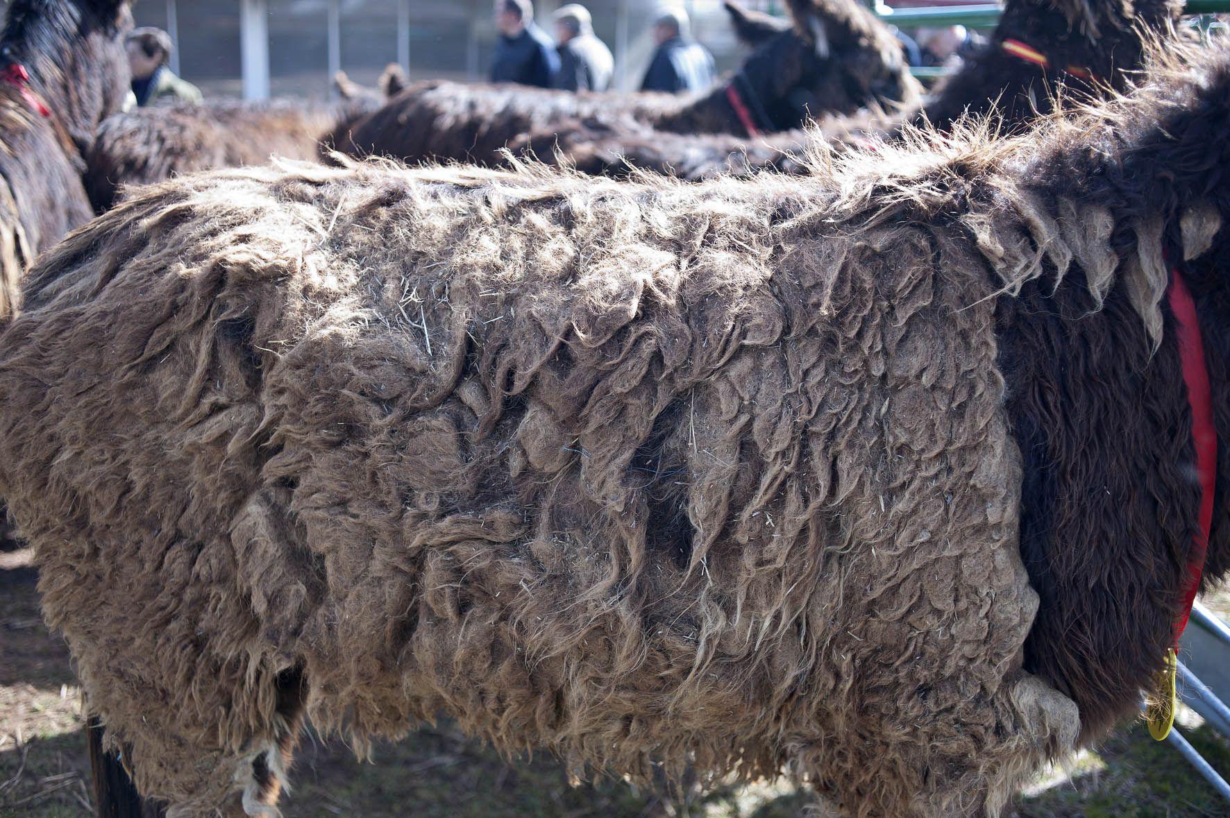 Burro  raza Zamorano Leonesa