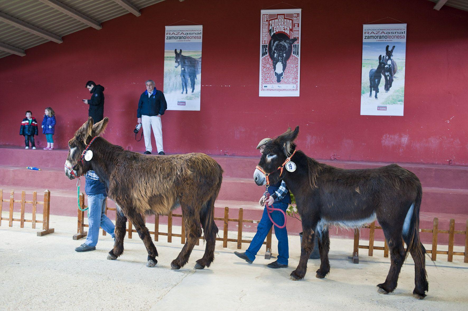 Subasta burro  raza Zamorano Leonesa San Vitero Zamora