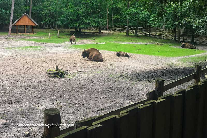 Qué ver en la isla de wolin, parque nacional bisontes