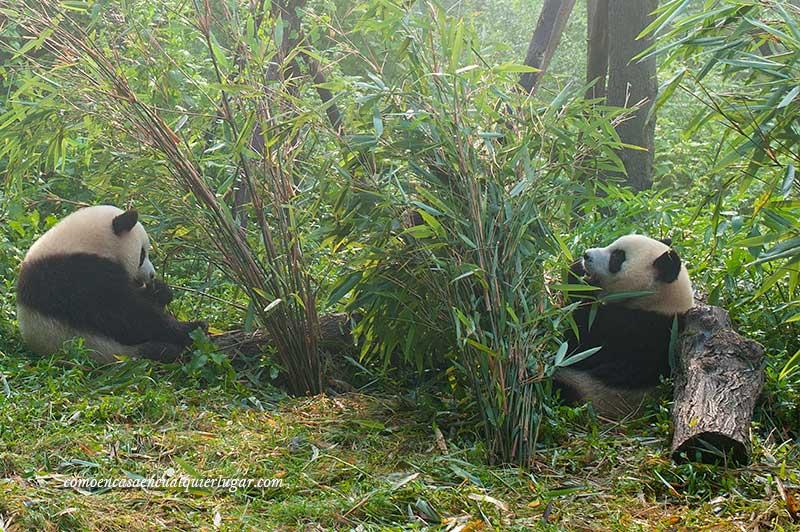 osos pandas en china